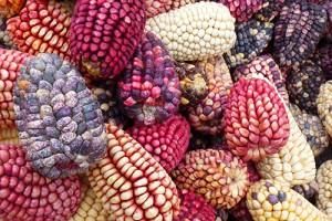 Такая разная кукуруза